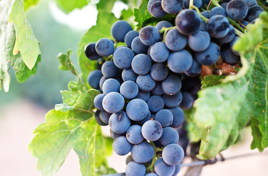 Can Dogs Eat Grapes? A Guide to Not Accidentally Killing Your Dog