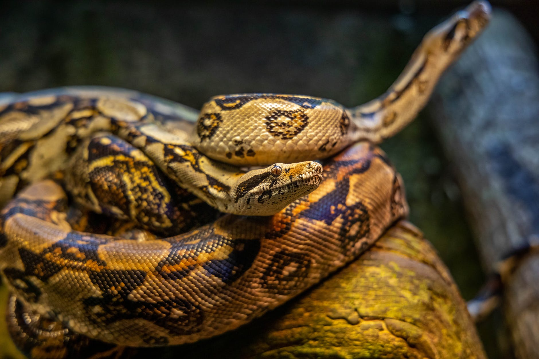 The not so Great Snake Plague In Australia And How To Manage It?