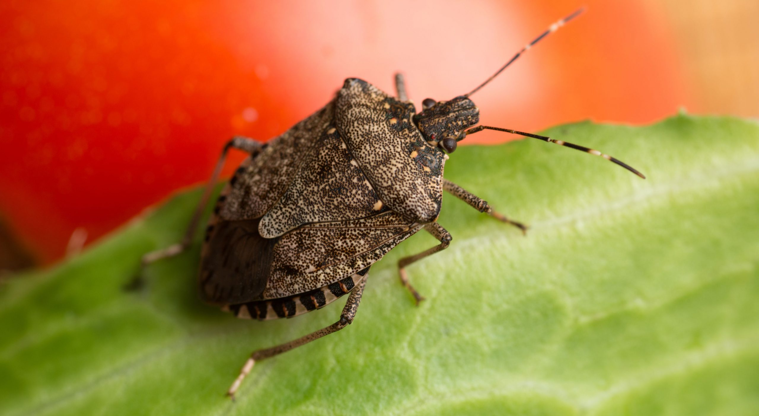 before going to know how to get rid of stink bugs it's important to know what attracts them most, what is their nature, and finally the preventive measures.