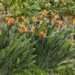 Bird of paradise plant: How to grow strelitzia