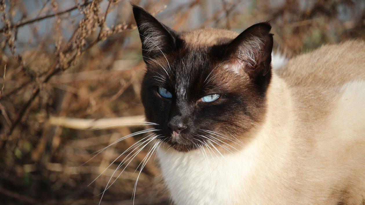 Breeds of Cat