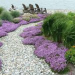 Creeping thyme plant: How to grow creeping thyme