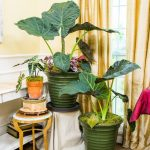 How to take care of elephant ear plant