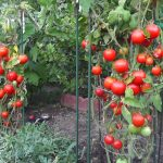 How to grow tomatoes:Top tomato growing tips
