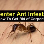 How to Get Rid of Carpenter Ants- Best Home Remedies
