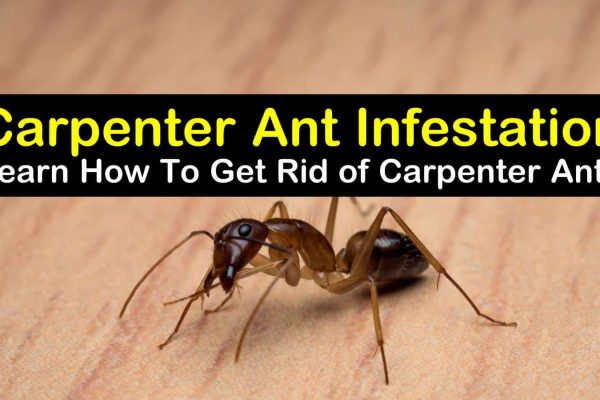 how to get rid of carpenter